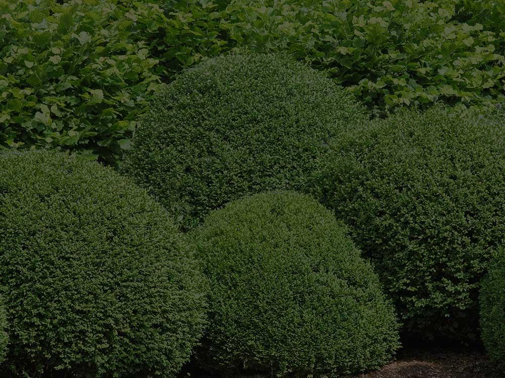 Acworth Shrubs and Hedges